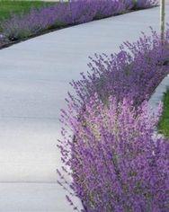 Lilacbushes (